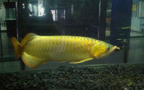 Jenis Pakan Ikan Koki ikan hias informasi perikanan cara memelihara cara