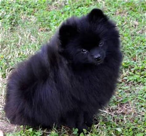 solid black pomeranian black pomeranians detailed info photos information center