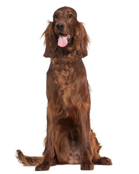 red setter dog weight irish setter puppies breed information puppies for sale