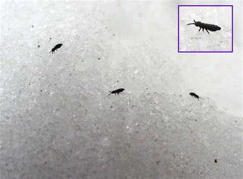 do bed bugs jump like fleas chigoe flea20120128 gt 31 dec 2012 14 32 12k images frompo