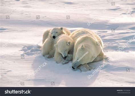 polar with cubs sleeping on arctic tundra stock photo 116102626