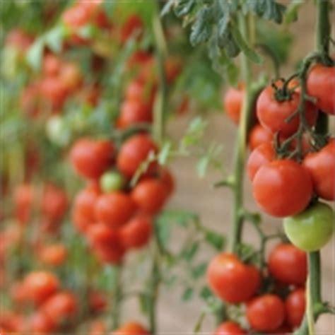 Wie Pflanzt Tomaten 5518 marder vertreiben wie sie diese loswerden sagt ihnen
