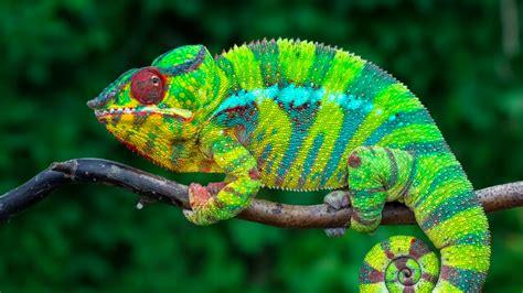 do all chameleons change colors how do chameleons change their colors earth