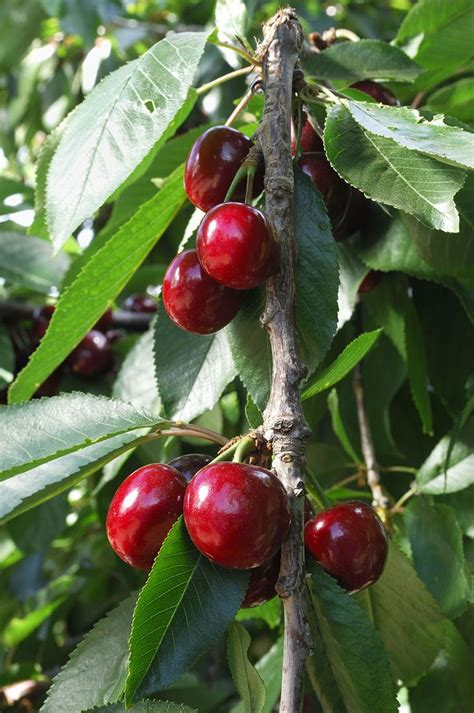 cherry tree mac os x 17 best images about fruit trees on hass avocado tree trees and fruit cactus