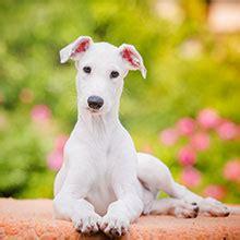 puppyspot havanese all breeds puppyspot