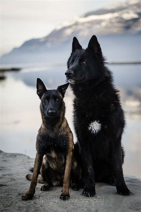 black wolf hybrid puppies a malinois and maybe a wolf hybrid gorgeous dogs instinct photography quotes