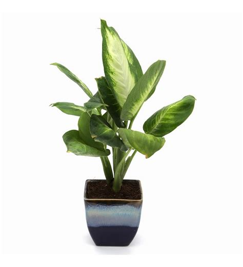 indoor small plants buy exotic green dieffenbachia small indoor plant in ocean blue ceramic pot online natural