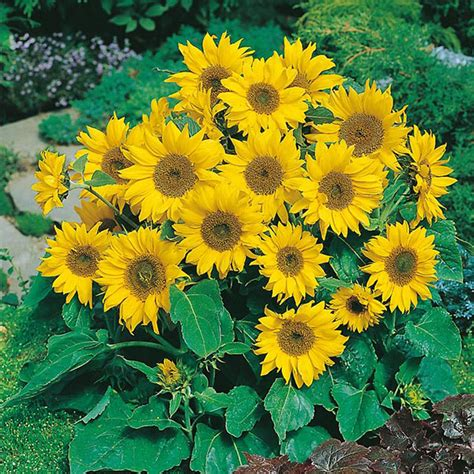 Bunga Hias Aster Mini jual bibit bunga matahari mini benih biji sunflower