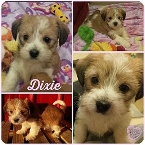 shih tzu rescue nebraska lincoln ne shih tzu mix meet dixie adoption pending a puppy for adoption