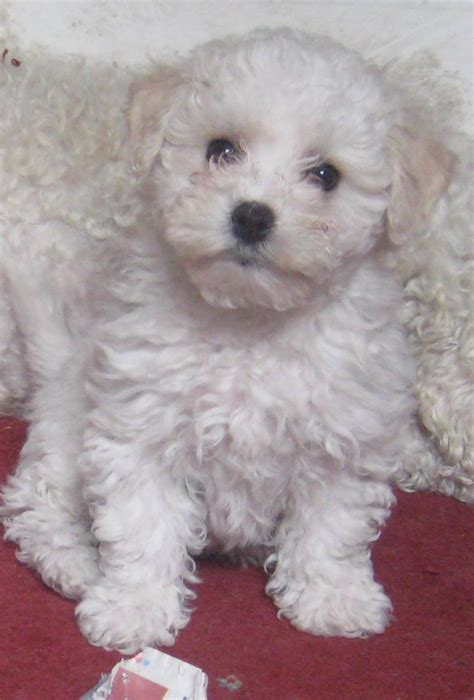 miniature bichon frise puppies for sale bichon frise cross miniature poodle puppies bedford bedfordshire pets4homes