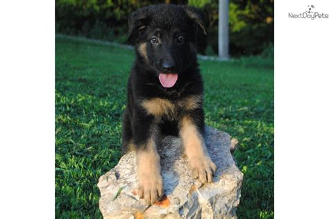 german shepherd puppies tulsa german shepherd puppy for sale near tulsa oklahoma 4ccd9ea2 0791