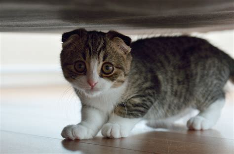 under the bed small scottish fold cat under the bed wallpapers and images wallpapers pictures photos