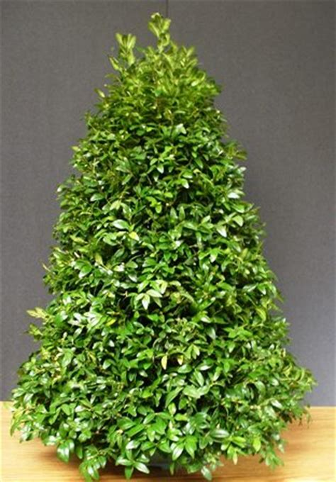 boxwood tabletop christmas tree 10 easy pieces tabletop trees gardenista