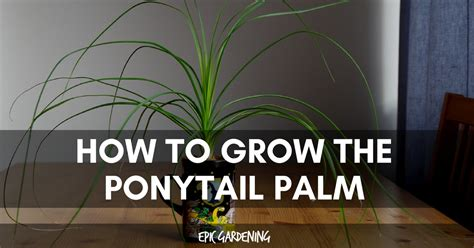 ponytail palm care   grow beaucarnea recurvata