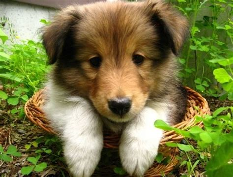 sheltie puppies ohio sheltie puppy in basket adorable shelties pets puppys and wicker