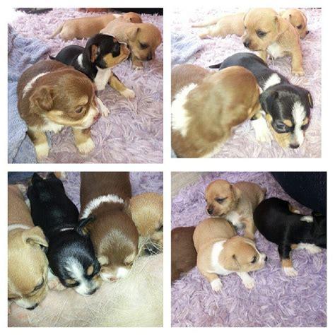 when will puppies open 19 days all open puppies puppy newborn newb flickr