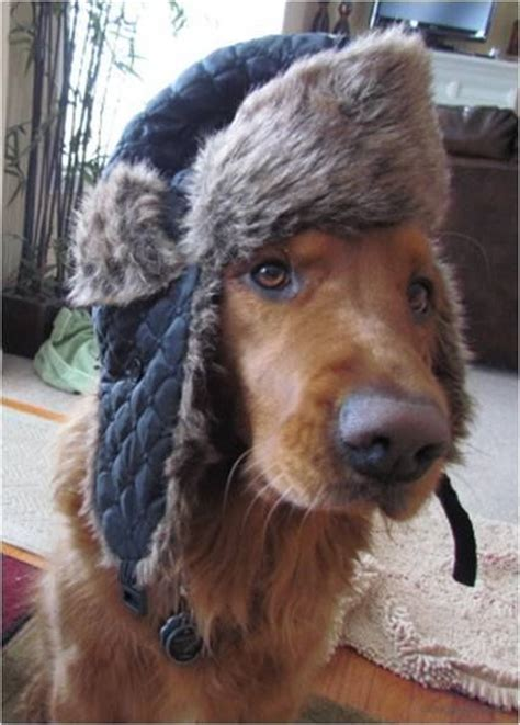 trapper hat for dogs 17 best images about dogs and winter on cold weather left out and for dogs