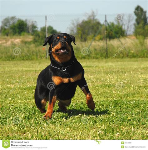 rottweiler running running rottweiler royalty free stock images image 2444389
