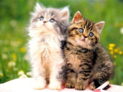 Sho Kucing Di Malaysia gambar gambar haiwan