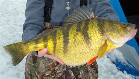 Idaho Records Another Idaho Record Perch At Lake Cascade The Spokesman Review