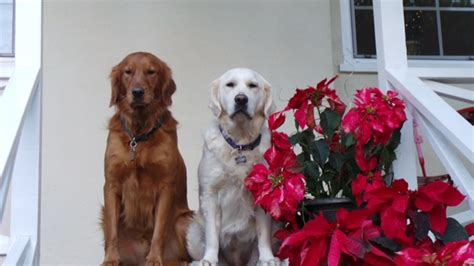 white oak golden retrievers puppy homes white golden retriever puppies