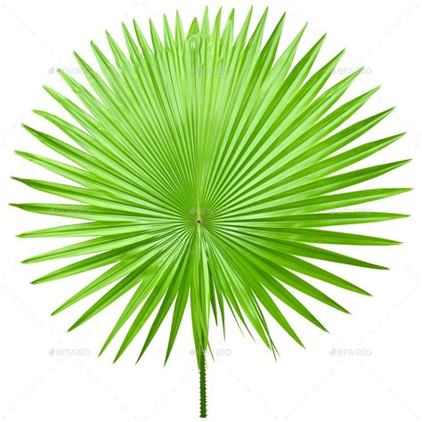 Palm Leaf by Isolated Palm Leaves By Elivic Graphicriver