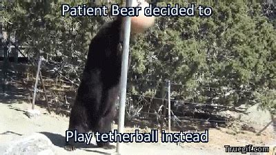 Patient Bear Meme - patient bear decided to play tetherball instead