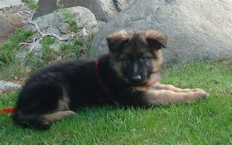 german shepherd puppy facts 11 facts about german shepherd dogs that prove they are the best breed in the