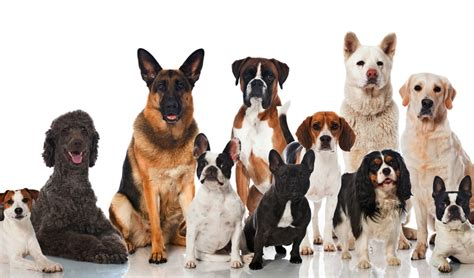 top dog breeds 30 most popular dog breeds that are famous all over the