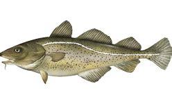 cod fisheries wikipedia