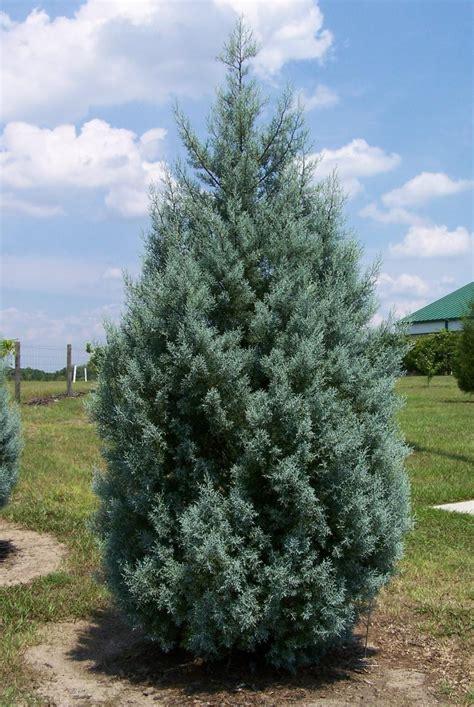 decorated blue arizona cypress arizona cypress
