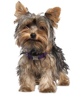 house yorkie puppies 25 best ideas about terrier haircut on yorkie haircuts yorkie