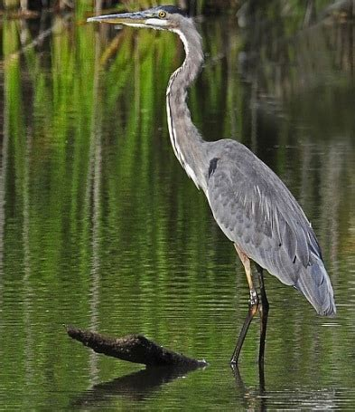 heron meaning heron meaning 28 images symbolic meaning of the heron