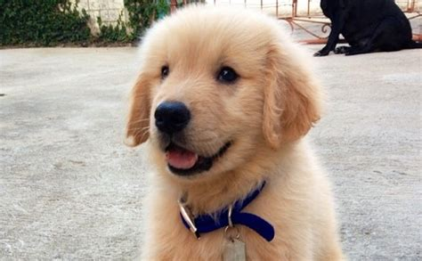 facts about a golden retriever a collection of 10 absolutely random facts about golden retrievers barkpost