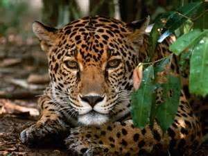 Jaguar Costa Rica Costa Rica Regions