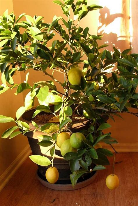 in door plant put in pot vide lemon seed germination how to grow a lemon tree in a
