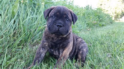 brindle bullmastiff puppies for sale watchman kennels