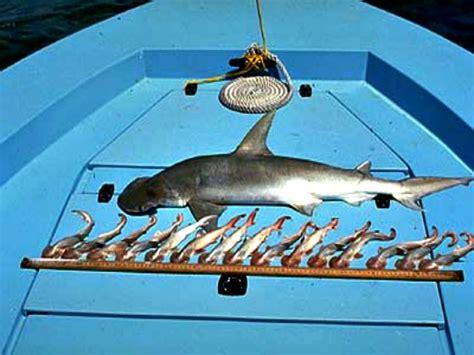 baby shark weight top 10 interesting facts about hammerhead sharks fun