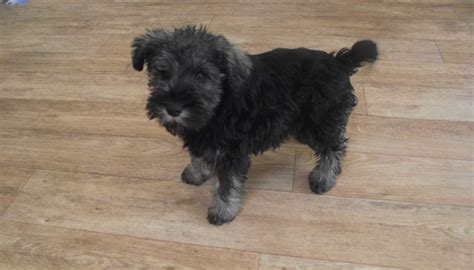miniature puppies miniature schnauzer puppy pathhead midlothian pets4homes