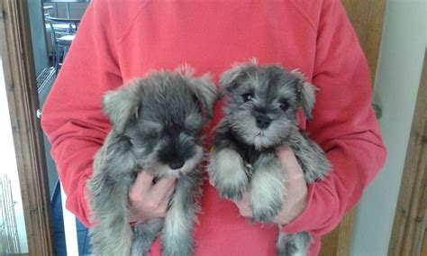 schnauzer puppies for sale in miniature schnauzer puppies miniature breeds breeds picture
