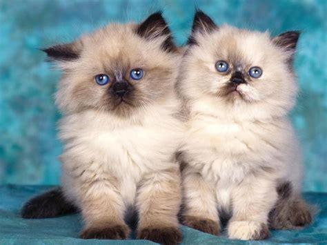 wallpaper persian cat persian cat wallpaper picture