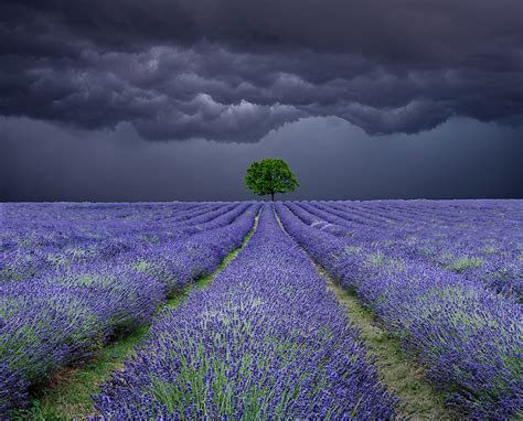 Landscape Lone Tree Lavender Field Storm Antonyz Photography Lone Landscaping