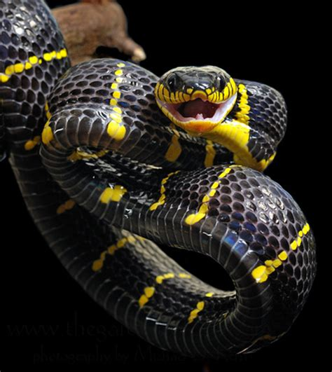 facts about serpentology the gallery for gt atheris hispida wallpaper