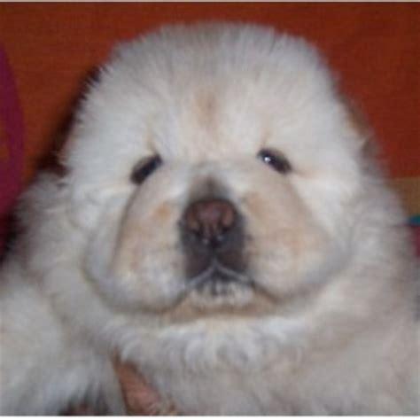 puppy zone rhynes puppy zone chow chow breeder in muskogee oklahoma 74401 freedoglistings