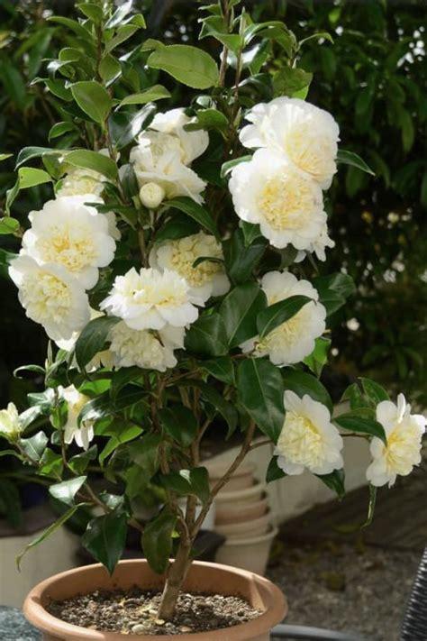 camellia brushfields yellow  pot   plants