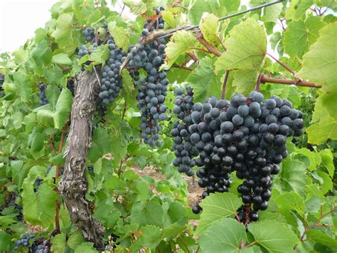 Of The Vine by Vine And Branches Jeff S Jottings