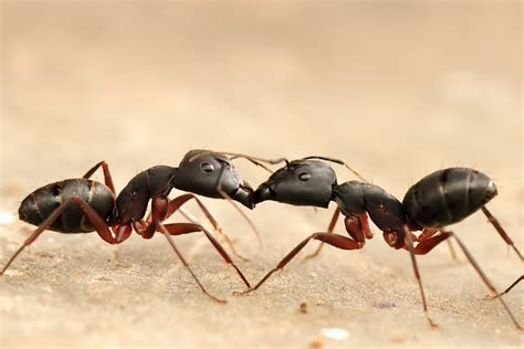 black ants why are ants so evil while black ants are so and