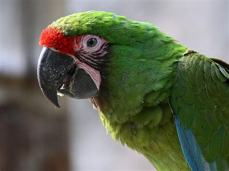 Imagenes De Guacamayas Verdes | guacamaya verde ara militaris 183 naturalista