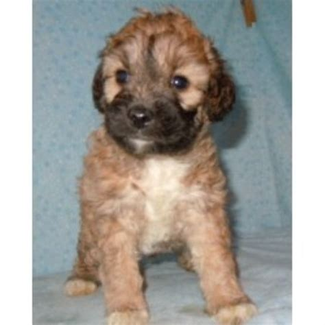 free puppies greenville sc barmor s puppies schnoodle breeder in greenville south carolina