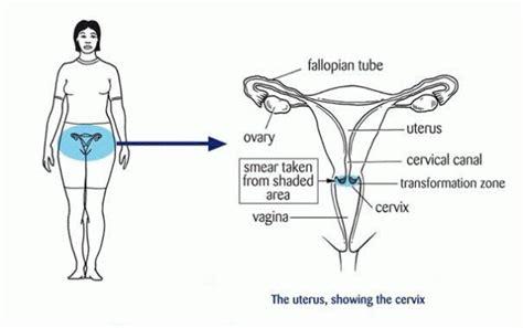 cervix diagram cervix diagram